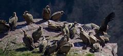 ItsusikoHarria-53 (enekobidegain) Tags: mountains montagne vultures monte euskalherria basquecountry bui pyrnes pirineos mendia buitres paysbasque nafarroa pirineoak bidarrai saiak vautours itsasu itsusikoharria