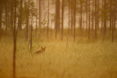 Renard roux au lever du soleil (Jean-Baptiste ROLLIN) Tags: finlande fort renardroux prairie