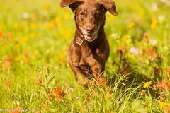 Ah, home sweet home (KB RRR) Tags: dog nature colorado rockymountains wildflowers frontrange chocolatelabrador shyla
