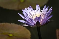 Hope (Wade Brooks) Tags: 2016 dukegardens flowers july