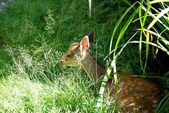 """Mum told me to wait here... (SteveJM2009) Tags: sika deer fawn cervusnippon young youngster longthorns dorset uk hidden undergrowth waiting sun light shade july 2016 summer stevemaskell naturethroughthelens"