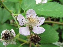 DSCN2206 (keepps) Tags: switzerland suisse schweiz summer fribourg montbovon garden flower raspberry insect beetle
