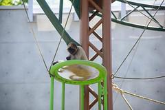 2016 北海道D6 4x6 3170 (chaochun777) Tags: 北海道 旭山 動物園 露營 自由行 猴子 長臂猿 猩猩 雲豹 花豹 老虎 獅子 北極熊 企鵝