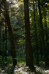 Bole (picturesbywalther) Tags: bole stamm baumstamm stämme bäume trees nature wald forest wood pflanzen leica outdoor grün green gegenlicht