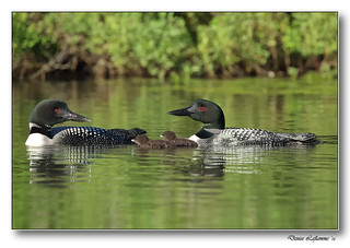1E1A3731-DL  - Plongeon huard / Common Loon.