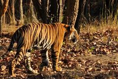 DSC_2843 (ajwhitehead1979) Tags: bengaltiger bhandavgarh india royalbengaltiger tiger