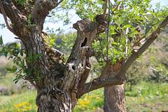 ckuchem-1280 (christine_kuchem) Tags: streuobstwiesenweg streuobstwiese streuobst wiese obstbaum frhling frhjahr blte bltezeit obstbume