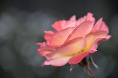 mia rosa (sabinakurt62) Tags: pink plant flower green art nature beautiful rose garden photography flora nikon bokeh sydney rosa australia sabinakurt