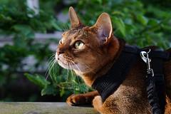 Lizzie (DizzieMizzieLizzie) Tags: portrait beautiful cat wonderful chats feline sony lizzie gato siesta meow katze abyssinian gatto katzen kot katt aby pisica mirrorless a6000 dizziemizzielizzie