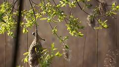 *** (pszcz9) Tags: polska poland przyroda nature ptak bird bokeh ga branch wierzba willow sony a77 parknarodowy nationalpark wiosna spring beautifulearth