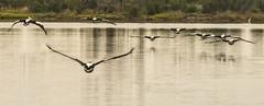 Pelican-flock_DSC5682 (Mel Gray) Tags: swansea pelicans birdsinflight lakemacquarie lake water australia newsouthwales