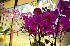Have a great flowery weekend :) (somabiswas) Tags: keukenhof flower gardens lisse tulips flowers nature amsterdam saariysqualitypictures