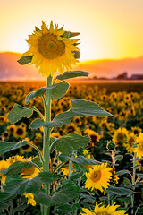 Standing Tall in a Field of Sunflowers (Rod Heywood) Tags: sunflower sunflowers flowers sun sunset golden orange yellow field backlit mountains farm tall plant seeds agriculture summer glow warmcolors californiasunshine california sunshine canont3i