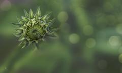 green with envy (rockinmonique) Tags: flower macro green texture canon petals bokeh bloom bud tamron blossum moniquew