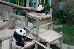 10-month-old (almost) Nuan Nuan and mother Feng Yi aka Liang Liang 2016-06-17 (kuromimi64) Tags: bear zoo panda malaysia nationalzoo kualalumpur giantpanda   zoonegara     fengyi   liangliang nuannuan selangordarulehsan  zoonegaramalaysia