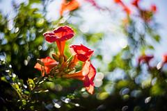Full of the Joys of Summer (moaan) Tags: lomographyzenitpetzval awaji hyogo japan jp flower flowering flora campsisgrandiflora trumpetcreeper trumpetvine sun sunlight july summer swirl bokeh swirlingbokeh dof utata 2016 canoneos5dsr lomographyzenitpetzval85mmf22 85mm f22