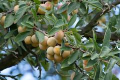 ckuchem-1559 (christine_kuchem) Tags: gelb mirabelle obstbaum syriaca pflaume rosengewchs unterart gelbezwetschge prunusdomesticasubsp