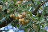 ckuchem-1559 (christine_kuchem) Tags: gelb mirabelle obstbaum syriaca pflaume rosengewächs unterart gelbezwetschge prunusdomesticasubsp