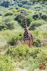 Masai Giraffe (DragonSpeed) Tags: africa africanwildcatsexpeditions giraffacamelopardalistippelskirchi lakemanyaranationalpark maasaigiraffe masaigiraffe safari tzday07 tanzania mammal arusha tz