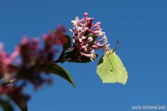Citroenvlinder (Josette Veltman) Tags: summer macro canon butterfly insect butterflies zomer vlinders vlinder canon100mmmacro macrophotography sering kleur vliegen vlinderstruik 100mm28 vlindertuin 100mm28lisusm