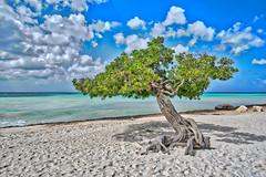 Aruba Divi Tree (sbmeaper1) Tags: hdr divi aurba