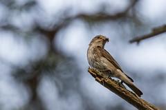Spotted flycatcher (Muscicapa striata) (tmy81) Tags: spottedflycatcher muscicapastriata harmaasieppo bird finland fi loviisa