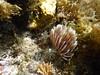 イソギンチャク? (lulun & kame) Tags: アメリカ大陸 snorkeling scottshead america dominica シュノーケリング スコッツヘッド ドミニカ