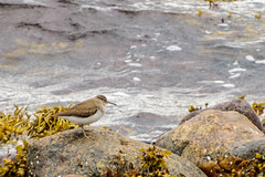 Waiting On A Wave (Mac ind g) Tags: summer scotland actitishypoleucos bird aultbea walking shore commonsandpiper westerross holiday sandpiper unitedkingdom gb
