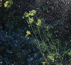 Dill-Monday-Morning (bnc-free) Tags: dill sprinkler water rain shower