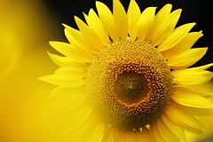 Sunflower (Teruhide Tomori) Tags: nature summer yosano kyoto japan flower sunflower