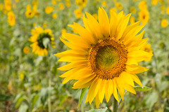 Friday's Flower Power (MR@tter) Tags: blumen natur sonnenblume dof sunflower sigma1770 flower flowers sun