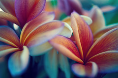 Plumerias in bloom (erniewelch1323) Tags: ifttt 500px petal flower plant garden flora flowers blossom beautiful color pink yellow beauty bloom natural floral red plumeria maroon
