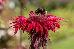 Bumble bee on flower in Kellie Castle gardens (EWin1) Tags: kelliecastle flowers delphinium