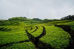 Tea Plantations (bady_qb) Tags: tea garden nex samyang 12mm nature landscape