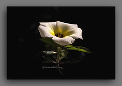 XANANA. (manxelalvarez) Tags: xanana turnerasubulata fores flora