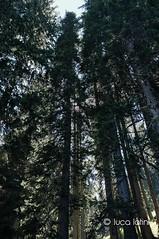 Dolomiti (Luca Latini) Tags: landscape paesaggio viaggio travel sky cielo italia italy mountain montagna mucche cow lucalatini dolomiti rifugio selle sanpellegrino juribello trentino estate summer