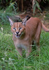Caracal on the prowl! - Big Cat Santuary at Smarden. Kent (One more shot Rog) Tags: caracal cat cats bigcats whf wildlifeheritagefoundation bigcatsanctuary smarden whiskers ears lynx caracalcat nikond7100 d7100