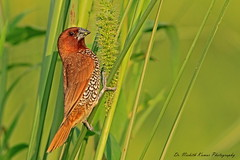 Brunch is always a good idea.. (Dr. Nishith Kumar Photography) Tags: drnishithkumarphotography drnishith nishith canon canon60d sigma150500 sigma150500mm sigma sgpgims sgpgi safari lucknow littlebird light scalybreastedmunia munia bokeh grassland goldenhour goldenlight golden goldenevening birdsofindia birdphotography birdsofuttarpradesh indianbirds indian indianwildlife india nationalgeographic nationalgeographicworldwide nationalgeography animalplanet wildlifesafari worldsbestpic