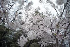 L1008249c (haru__q) Tags: leica m8 leitz summaron sakura cherryblossom