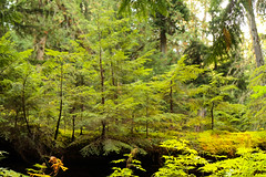 ancient forest  (128 of 151) (ve7org) Tags: ancientforest ancientcedars cedartrees parks trail