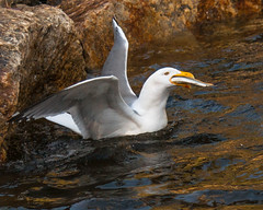 fish gull maine alewife woolwich eatingfish alewives