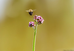 Hasta la Vista!! (Leo Lucky) Tags: flower nikon bee goodbye uga tifton cya hastalavista nespal pawankumar d5100