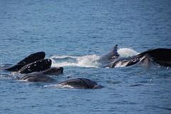 Humpback Whales bubble net feeding (Ron's Aquarium Photos) Tags: whales mammals humpbackwhales bubblenetfeeding