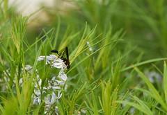 Mud Dauber On Bluestar (HorsePunchKid) Tags: animalia arthropoda hymenoptera insecta thehighline sphecidae sceliphroncaementarium sceliphron wildflowerfield taxonomy:class=insecta taxonomy:kingdom=animalia taxonomy:phylum=arthropoda taxonomy:order=hymenoptera taxonomy:family=sphecidae taxonomy:genus=sceliphron taxonomy:binomial=sceliphroncaementarium taxonomy:claderoot=animalia clade:insecta=hymenoptera clade:hymenoptera=apoidea clade:animalia=arthropoda clade:arthropoda=insecta clade:apoidea=sphecidae taxonomy:eolid=2739245 taxonomy:common=yellowandblackmuddaubers clade:sphecidae=sceliphron clade:sceliphron=caementarium