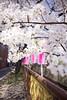 someiyoshino  #5 (hauko) Tags: flower canon tokyo spring 桜 sakura cherryblossoms canon5d megurogawa someiyoshino ソメイヨシノ canoneoskissx2