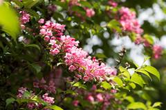 _DSD0574 (bluebullet) Tags: pink plant flower cute nature beautiful japan season spring outdoor may nopeople petal brightness weigela hiroshimaprefecture jinsekikougentown