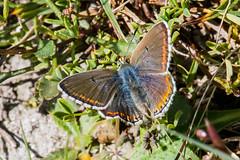 Adonis Blue Butterfly (Polyommatus bellargus) (BiteYourBum.Com Photography) Tags: uk greatbritain blue england apple butterfly nationalpark westsussex unitedkingdom gb canonef1740mmf4lusm adonis southdowns allrightsreserved shoreham shorehambysea botolphs steyning ipad upperbeeding polyommatus focusstacking macpro canonefs60mmf28macrousm polyommatusbellargus adonisblue bellargus biteyourbum anchorbottom adonisbluebutterfly canoneos7d appleipad lrenfuse dawnandjim canonspeedlite430exii southdownsnationalpark sigma50500mmf4563dgoshsm loweproprorunner350aw lightroom5 biteyourbumcom dawnjim camranger copyright©2015biteyourbumcom copyright©biteyourbumcom