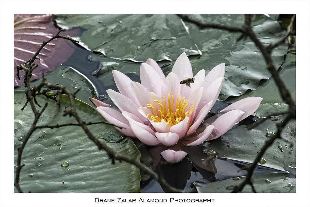 The worlds newest photos of lotus and sanskrit flickr hive mind beeandlotus alamond tags pink water canon is lotus quote bee 7d l usm mightylinksfo
