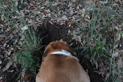 Babel cavando desde atrs II (lapelan) Tags: de la agujero campo cerrado serra solitario tarde ftbol babel tierra perra hierba vaco solos bellotas cavar batet