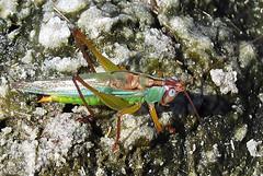 Handsome Meadow Katydid, Orchelimum pulchellum, Jamaica Bay Wildlife Refuge, Broad Channel, NY (Seth Ausubel) Tags: orthoptera tettigoniidae conocephalinae